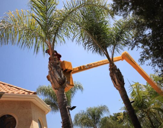 Palm Tree Trimming-Henderson Tree Trimming and Tree Removal Services-We Offer Tree Trimming Services, Tree Removal, Tree Pruning, Tree Cutting, Residential and Commercial Tree Trimming Services, Storm Damage, Emergency Tree Removal, Land Clearing, Tree Companies, Tree Care Service, Stump Grinding, and we're the Best Tree Trimming Company Near You Guaranteed!