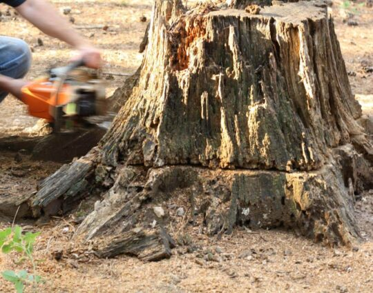 Stump Removal-Henderson Tree Trimming and Tree Removal Services-We Offer Tree Trimming Services, Tree Removal, Tree Pruning, Tree Cutting, Residential and Commercial Tree Trimming Services, Storm Damage, Emergency Tree Removal, Land Clearing, Tree Companies, Tree Care Service, Stump Grinding, and we're the Best Tree Trimming Company Near You Guaranteed!