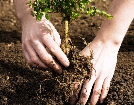 Tree Planting-Henderson Tree Trimming and Tree Removal Services-We Offer Tree Trimming Services, Tree Removal, Tree Pruning, Tree Cutting, Residential and Commercial Tree Trimming Services, Storm Damage, Emergency Tree Removal, Land Clearing, Tree Companies, Tree Care Service, Stump Grinding, and we're the Best Tree Trimming Company Near You Guaranteed!